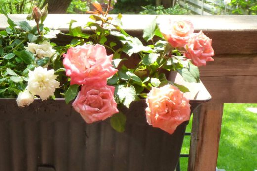 krzewy roz na balkonie